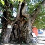 Century - old Plane Tree, village of Garmen