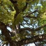 A hundred-year-old tree, the village of Skravena, Botevgrad municipality